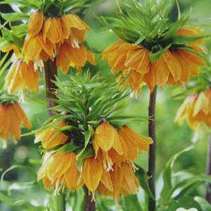 Fritillaria Imperialis Orange Bulbs 1 Per Pack