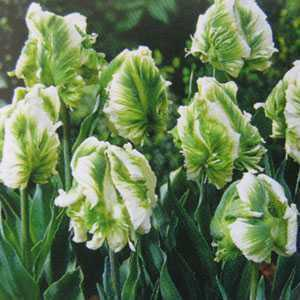 Tulip Bulbs Parrot Super Parrot 10 Per Pack