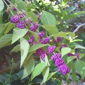 Callicarpa Bodinieri Profusion Beautyberry Trellis Climber 20ltr