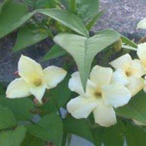 Jasminum Jasmine Officinale Clotted Cream (Devon Cream) 20ltr Trellis Climber