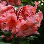 Rhododendron Hybrid Tortoiseshell Orange 5 Ltr