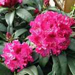 Rhododendron Marie Forte (Fortie) (Pink/Red) 5 Litre Pot