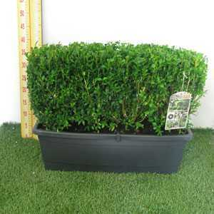 Buxus Sempervirens Box Hedging Troughs 56cm Length