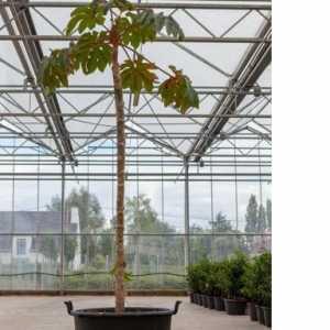 Tetrapanax Papyrifera Chinese Rice Paper Plant