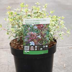 Abelia Grandiflora Sparkling Silver 3.6ltr