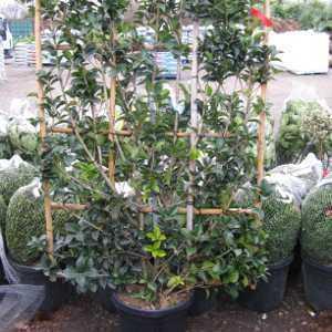 Osmanthus Heterophyllus Aquifolium 30ltr 100x150 frame
