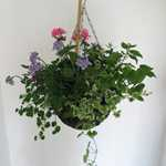Summer Planted Mixed Wicker Hanging Baskets 12 inch