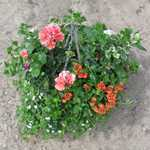 Summer Planted Mixed Wicker Hanging Baskets 14 inch