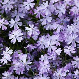 Phlox Subulata Purple Beauty 1ltr