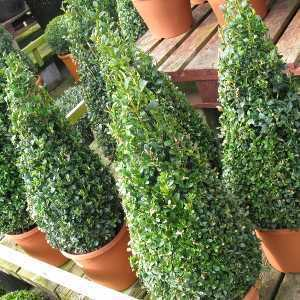 Buxus Sempervirens Pyramid/Cone (Box Hedge/Topiary Plant) 40-45cm 4Ltr