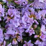 Rhododendron Dwarf Blue Tit Major 3 Ltr