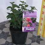 Hardy Fuchsia Beckie Lou 2Ltr