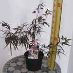Acer Palmatum Atrolineare (Japanese Maple) Red Strap leaf Maple 3 Ltr