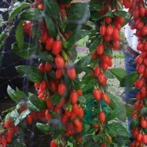 Lycium Barbarium Big Lifeberry Goji Berry 3.6ltr