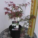 Acer Palmatum Beni Komachi (Japanese Maple) 3 Ltr