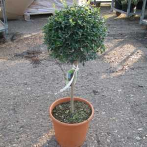 Ligustrum Delavayanum Topiary (Privet) Mini Standard 40cm Clear Stem 9ltr