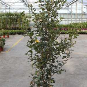 Quercus Ilex Evergreen Oak Hedging