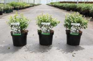 Abelia zanderi 'Little Richard'
