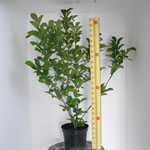 Magnolia Loebneri 'Merrill' 10 Ltr