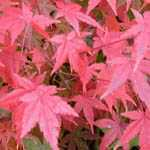 Acer Palmatum Okagami (Japanese Maple) 3 Ltr