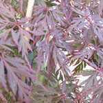 Acer Palmatum Orangeola (Japanese Maple) 4 Ltr