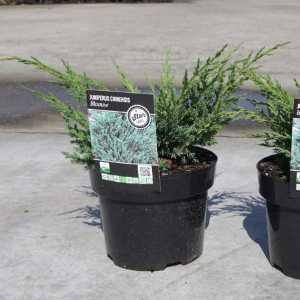 Juniperus Chinensis Blaauw
