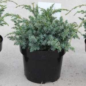 Juniperus chin.