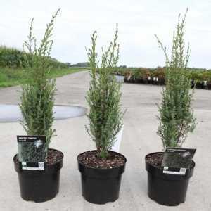 Juniperus Column