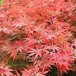 Acer Palmatum Shojo Shidare (Japanese Maple) 3 Ltr