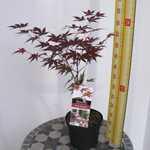 Acer Palmatum 'Yezo Nishiki'