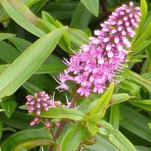 Cheap Hebe Sutherlandii Online : Buy Hebes Online : Plants ...
