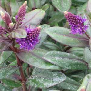 Hebe Purple Queen