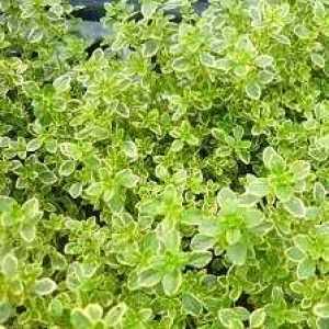 Thyme Lemon Thymus Citriodorus 2ltr x 10 Plants
