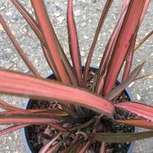 Phormium Pink Panther New Zealand Flax