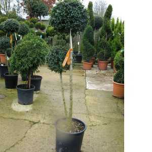 Ligustrum Jonandrum 2 Ball 19ltr
