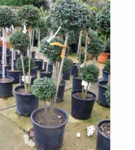 Ligustrum Jonandrum 3 Ball Trio
