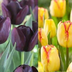 Tulip Bulbs Lazy Night (Mixed) 25 Per Pack