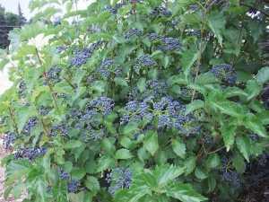 Viburnum dentatum BLUE MUFFIN 'Christom'