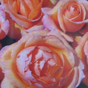 Lady Marmalade Floribunda Rose