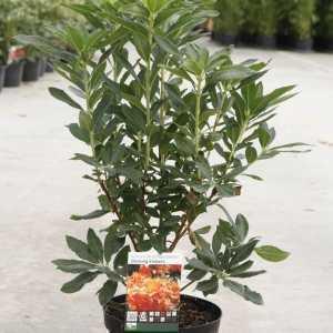 Rhododendron (AK)