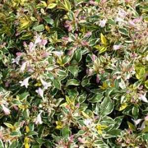 Abelia Grandiflora 'Hopleys'