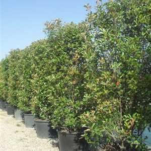 Photinia Fraseri Red Robin  200-225cm Height x 75cm Wide Rootball Hedging x 10 Plants