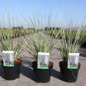 Cortaderia Selloana Silver Mini Pampas Grass