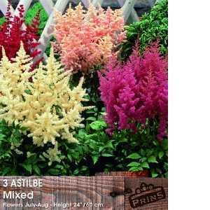 Astilbe Mixed x 3 Pre Packed Perennials