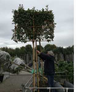 Photinia Fraseri Red Robin Pleached Trees, Clear Stem 180-190cm, 10-12cm girth, Frame 150cm Wide x 120cm Height