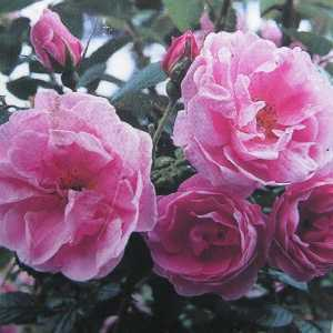 Sarah Van Fleet Rugosa Rose