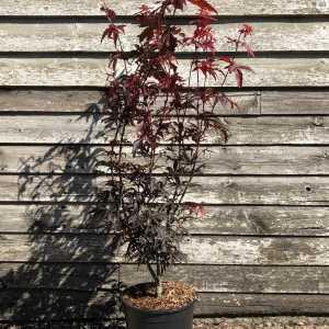 Acer Palmatum Skeeter