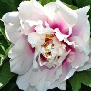 Peony (Paeonia) ITOH Intersectional Cora Louise