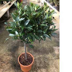 Laurus Nobilis (Bay Tree) Mini Standard 50cm Clear stem 45cm head 10ltr