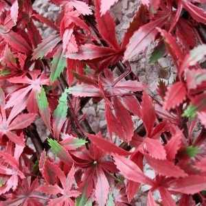 Red Acer Artificial Trellis